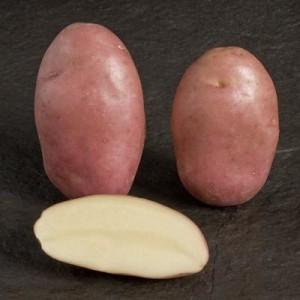 сорт картофеля весна белая