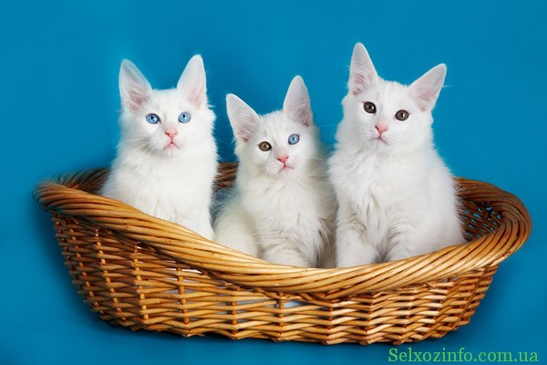 Порода кошек Турецкая ангора