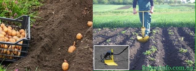 Как правильно сажать картошку с
