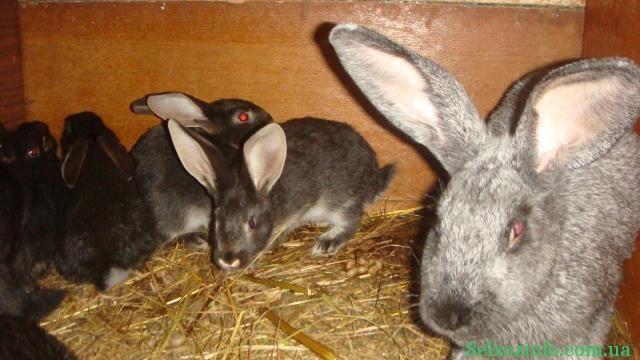 выращиание крольчат