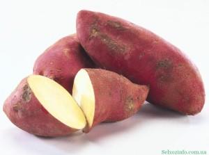 выращивание овощей батат
