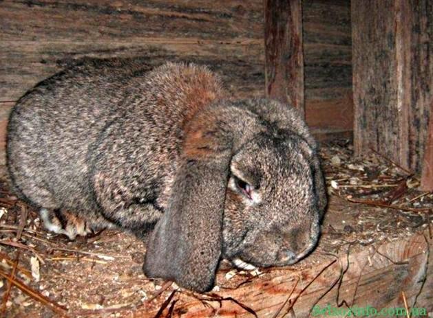 Болезни у кроликов и их лечение