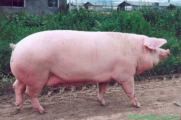 Как узнать вес свиньи