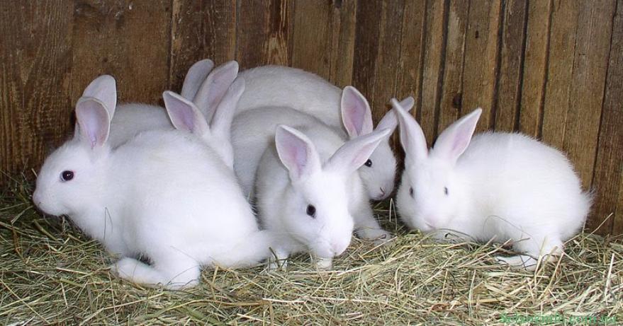 Как развести кроликов