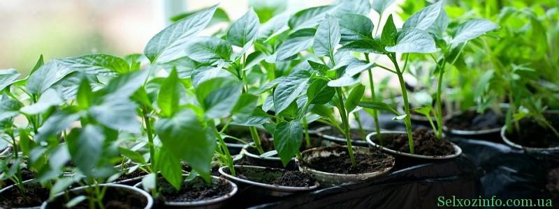 Выращивание рассады ели в домашних условиях 86