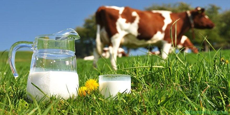 Коровье молоко: польза и вред