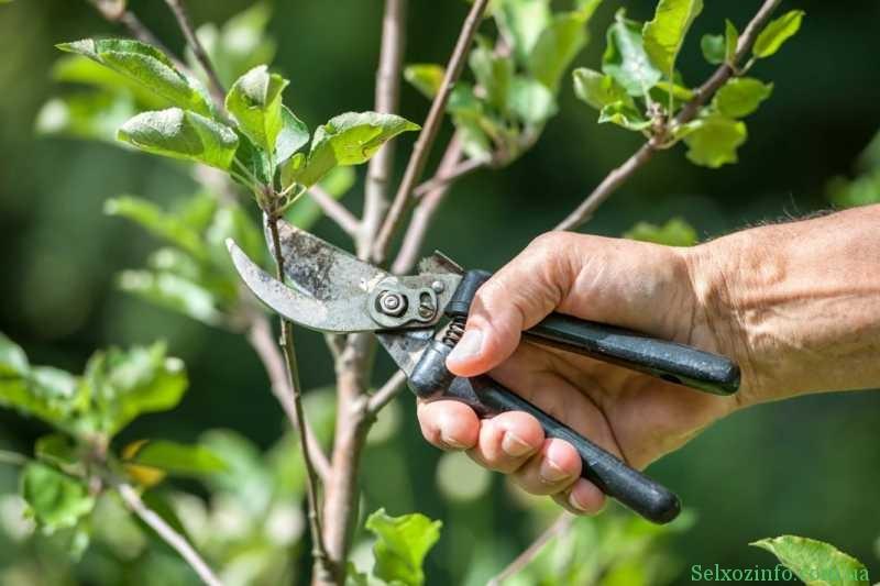 Як правильно потрібно обрізати дерева