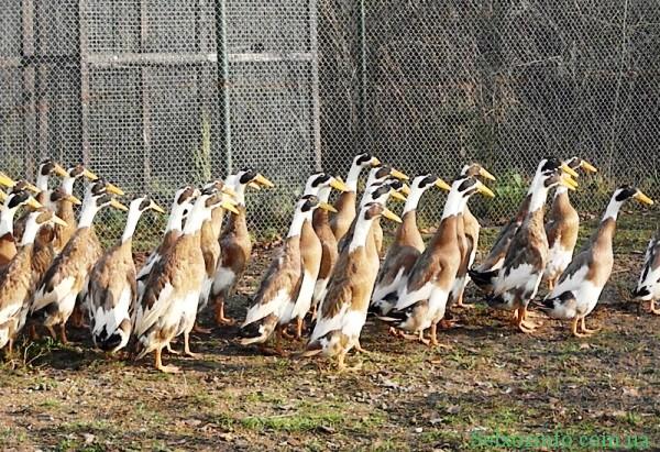 Порода качок Індійські бігуни