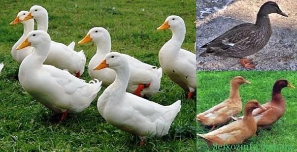 Порода качок - Українська