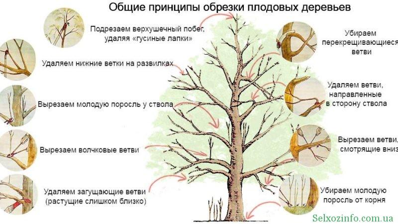Рекомендації по обрізанню плодових дерев