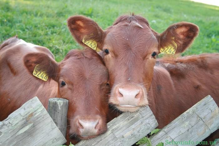 Болезни крупного рогатого скота