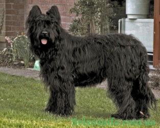 Порода собак Бриар черный