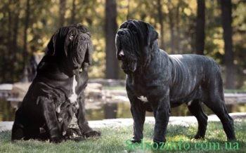 Порода собак неаполитанский мастиф
