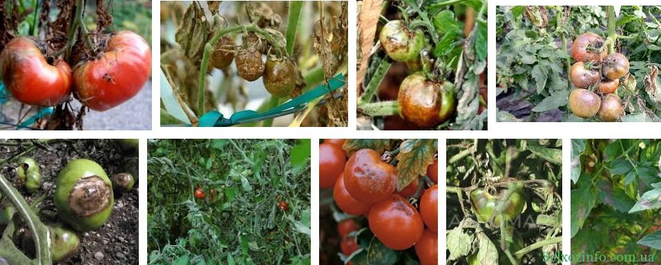 Обробка томатів від фітофтори