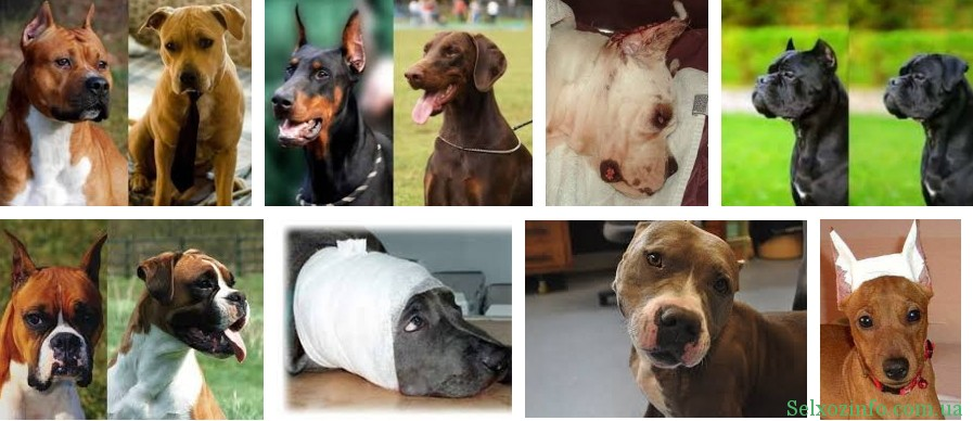 Обрізання вух у собак