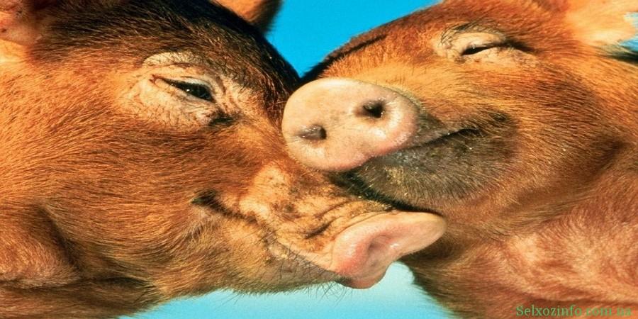 Особенности содержания свиней