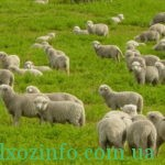 разведения овец в домашних условиях