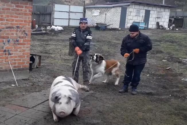 зачем свиньям отрезают яйца